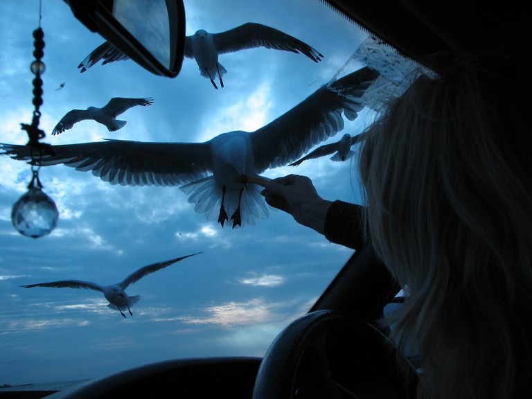 Feeding seagulls through the car window