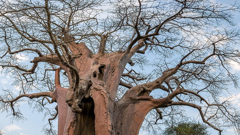 A boabab tree similar to this one devoured maidens in the Kafue National Park