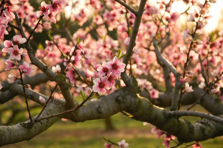 Ruston, Peach Blossoms, Ruston Peaches