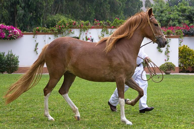 A young Peruvian Paso