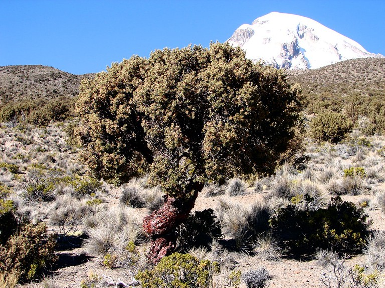 The tree grows in the highest altitude in the world