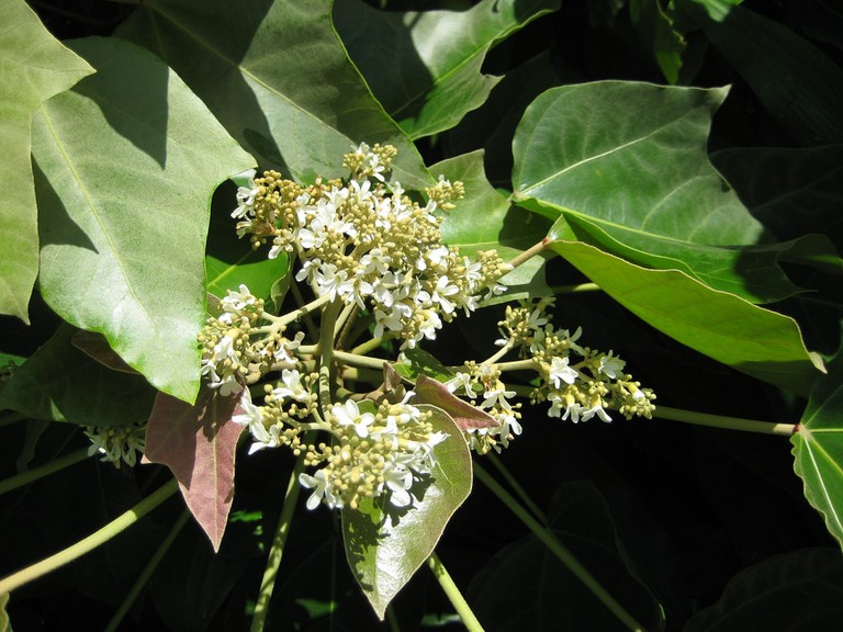 Kukui nut trees are rampant throughout the islands of Hawaii