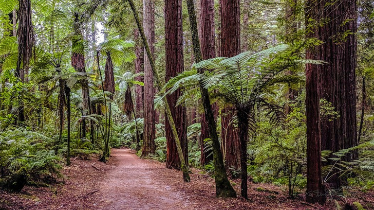 A walking track in Rotorua's Redwoods Forest