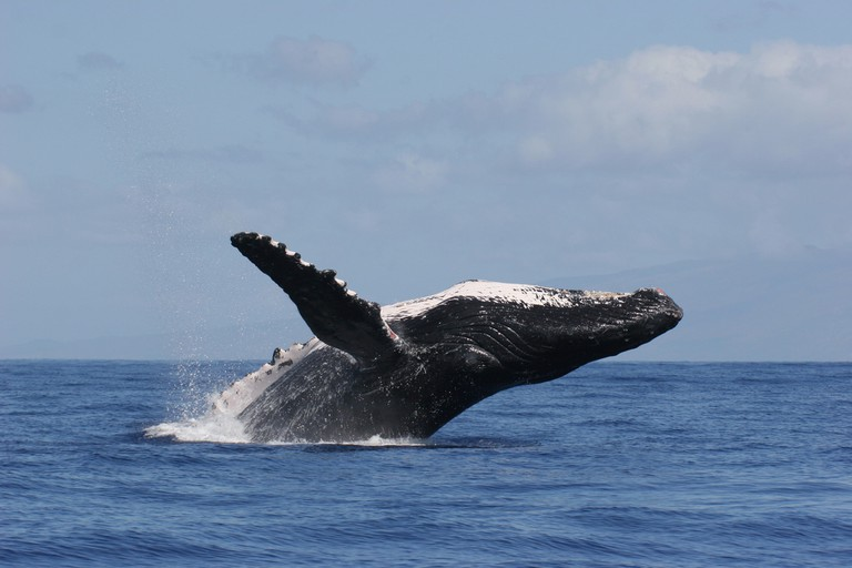 Humpback Whale Breach | © NOAA Office of Marine Sanctuaries/Flickr
