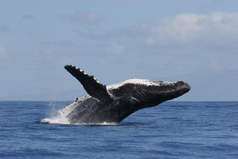 Humpback Whale Breach | © NOAA Office of Marine Sanctuaries/Flickr
