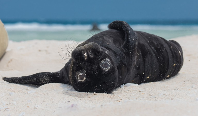 Hawaiian Monk Seal pup | © NOAA Photo Library/Flickr