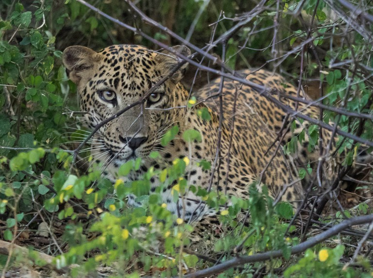 Sri Lankan Leopard in the bush