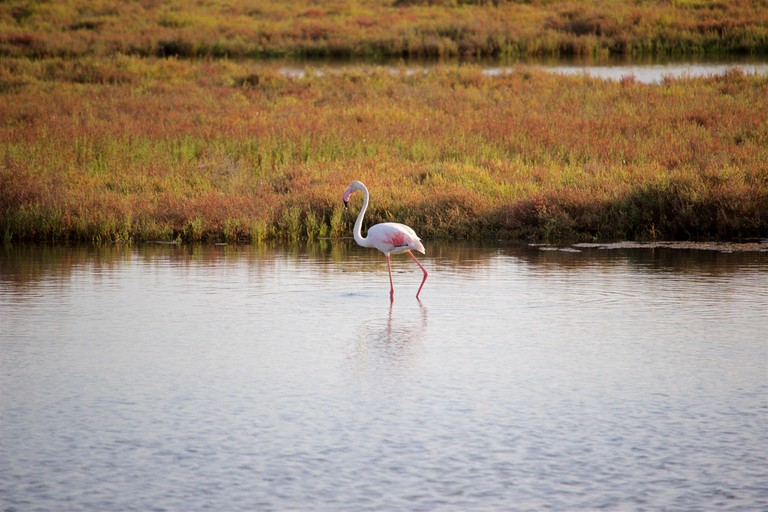 A flamingo in the Delta de l'Ebre