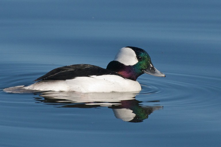A bufflehead, a type of sea duck, on Lake Merritt