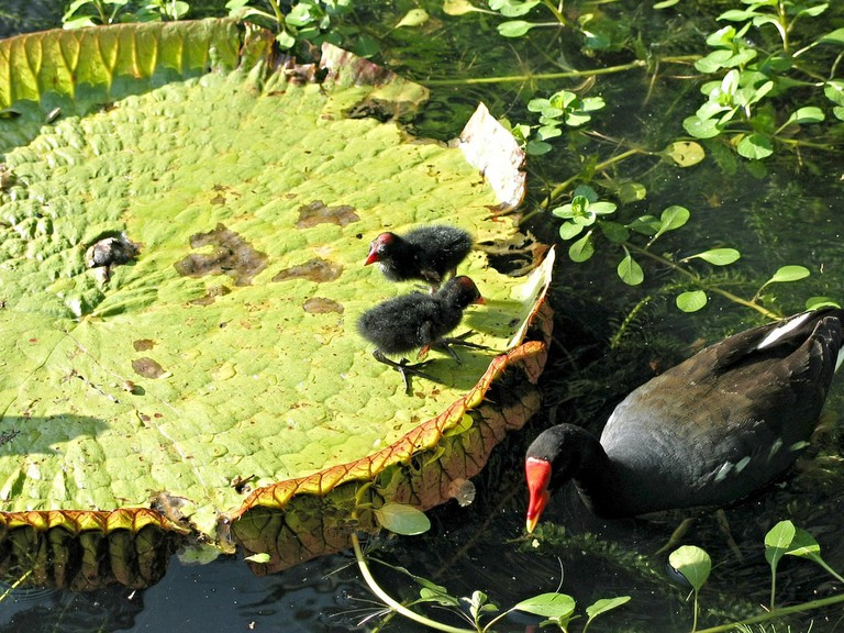 Hawaiian Moorhen | © David Eickhoff/Flickr