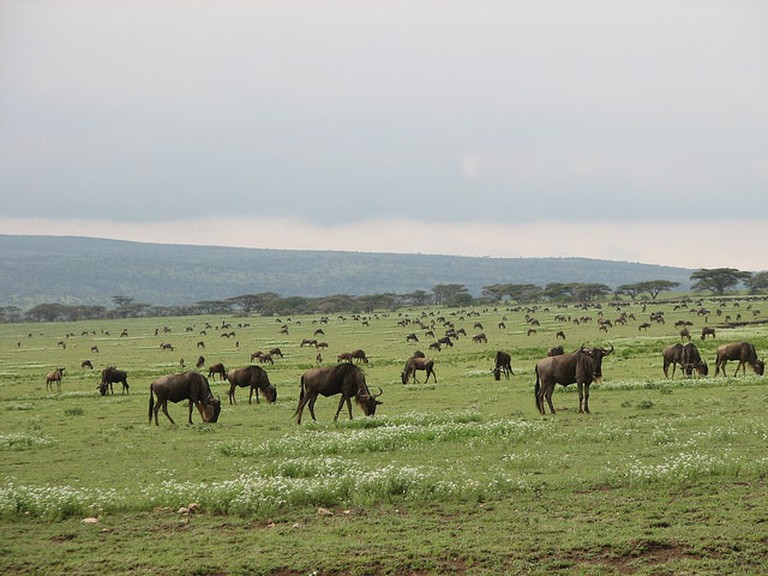 During the months of November – January, blue wildebeest migrate to Liuwa National Park