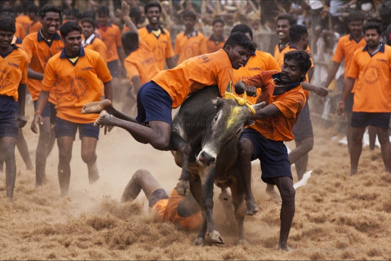 A team trying to restrain the bull during Jallikattu contest