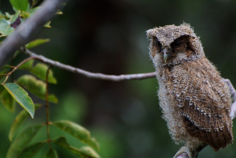 A beautiful baby owl in La Macarena National Park