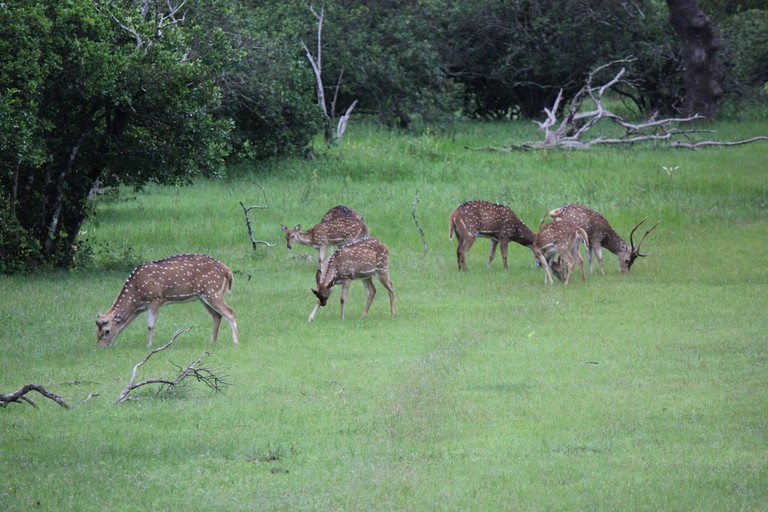 Spotted Deer in Yala National Park