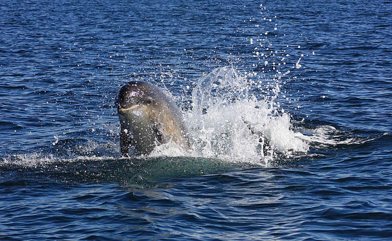 Dolphin Breaching Off Moray Firth