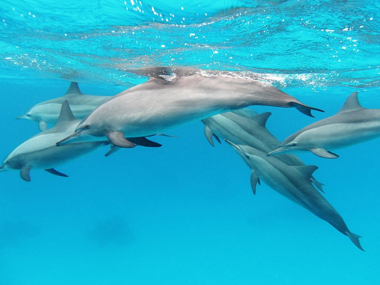 A pod of spinner dolphins, a type known for their acrobatic behavior