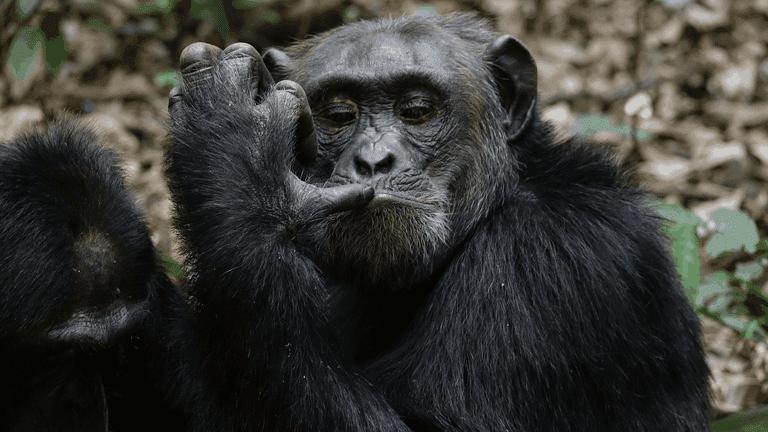 Animals adapting_chimp-min