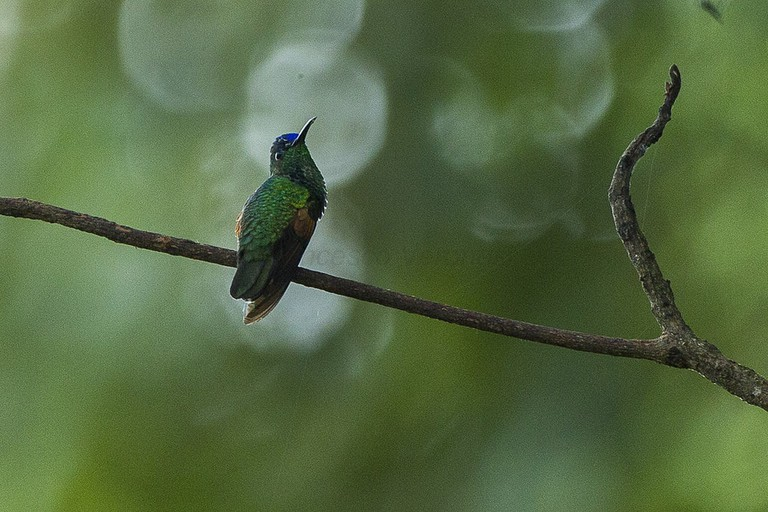 Blue-capped hummingbird