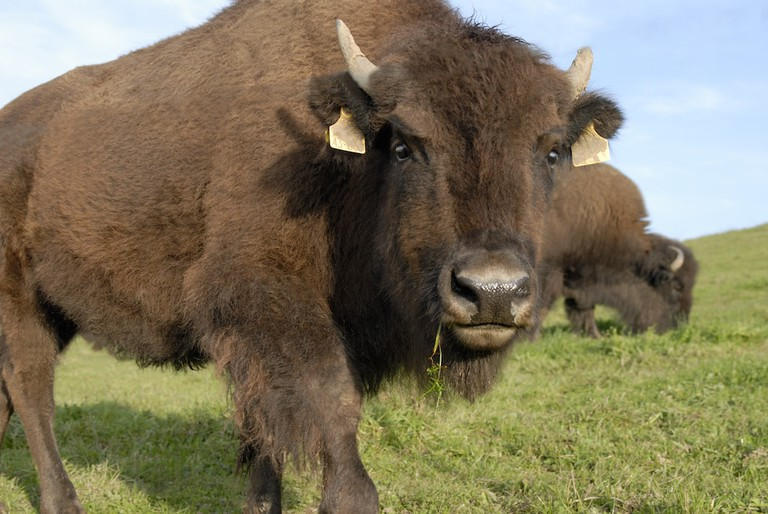 A European bison poses for the camera at the Wild- und Freizeitpark Allensbach