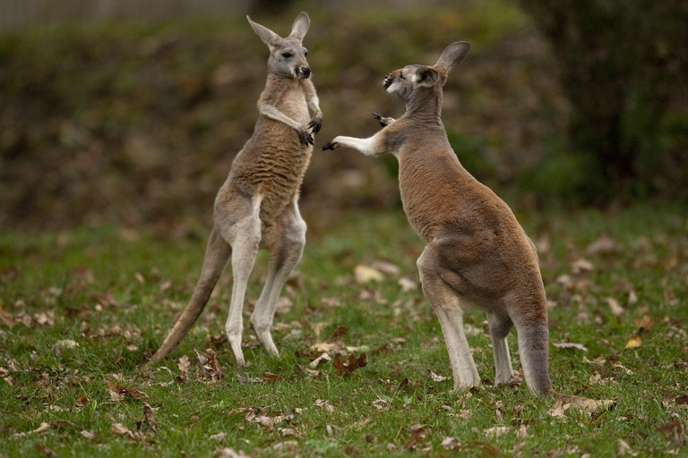 Boxing kangaroos © Scott Calleja / Flickr