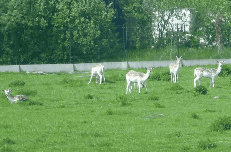 Charms-of-Kociewie-Grazing-Deer-Greet-me-in-Kokoszkowy