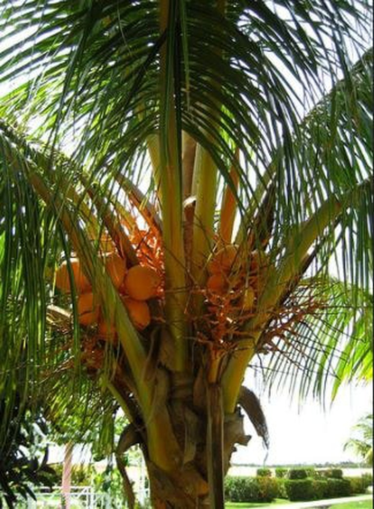 Coconuts used to make sweet coconut palm wine