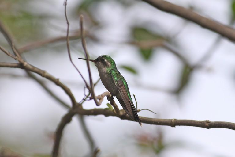 A Cozumel emerald hummingbird