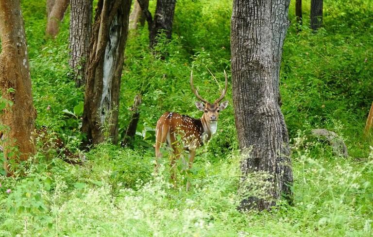 Deer_at_Mudumalai_National_Park