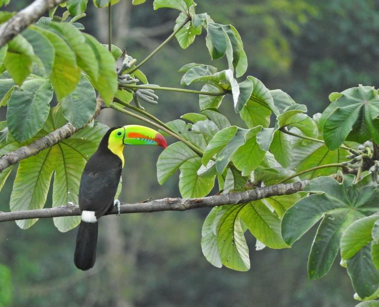 Spotting a toucan near Minca