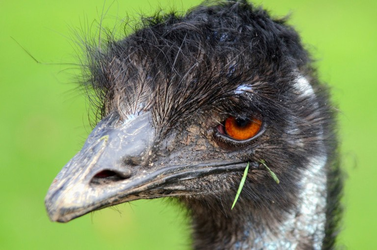 Emu 11 Facts About Australia S National Bird