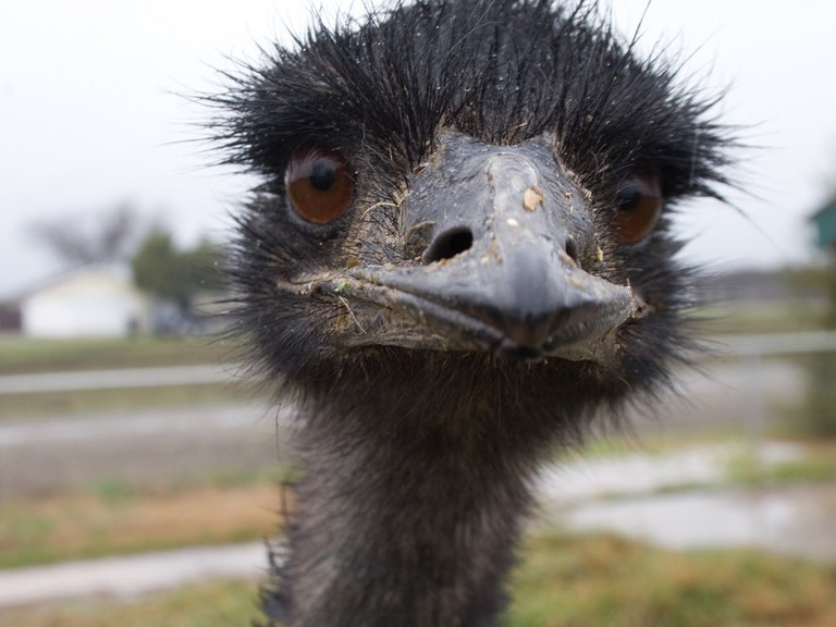 This emu clearly took a liking to the camera