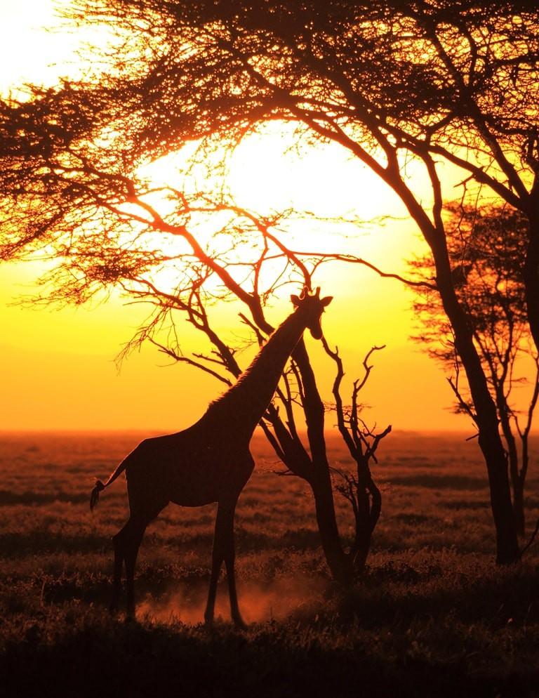 Giraffe silhouetted by sunrise