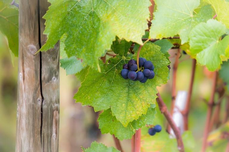 grapes-980194_960_720