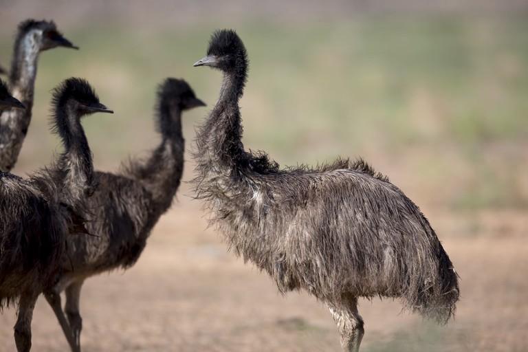 Group of emus © Jim Bendon / Flickr