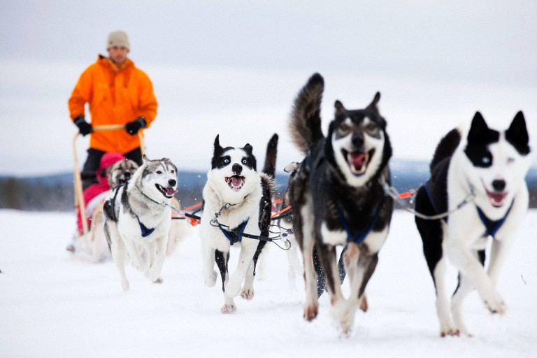 Having fun with huskies in Lapland, Finland, Courtesy of VIsit Finland