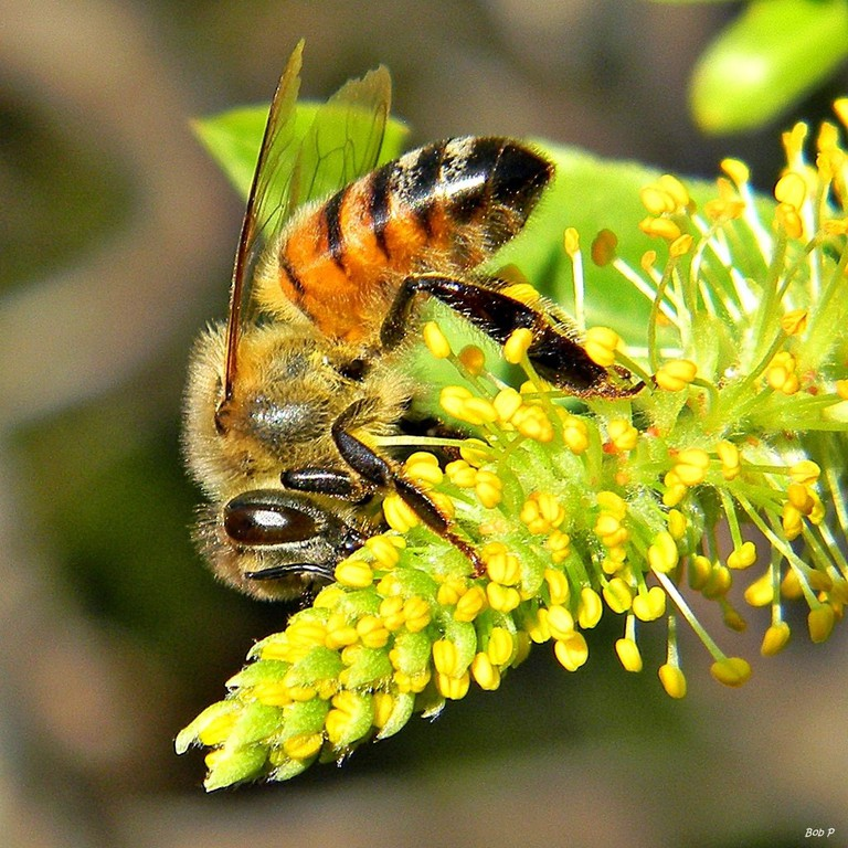 Honey_Bees_in_Willow_Trees_(8345531686)