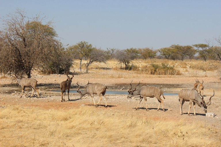 Animals graze around a waterhole at Andersson's Camp