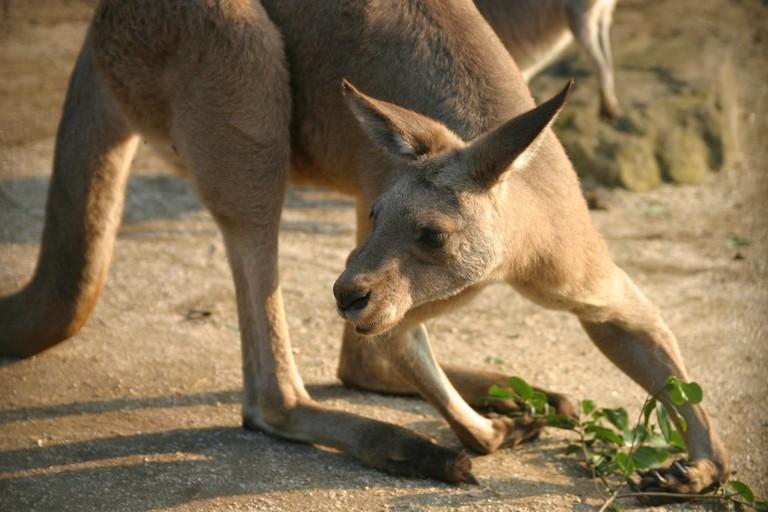 Kangaroo © nanao wagatsuma / Flickr