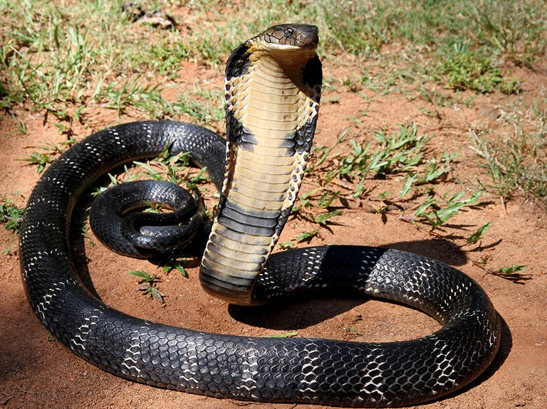 King cobra, one of 14 venomous snakes found in Hong Kong