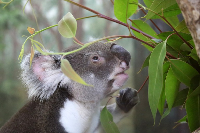 Koala in the wild © cuatrok77 / Flickr