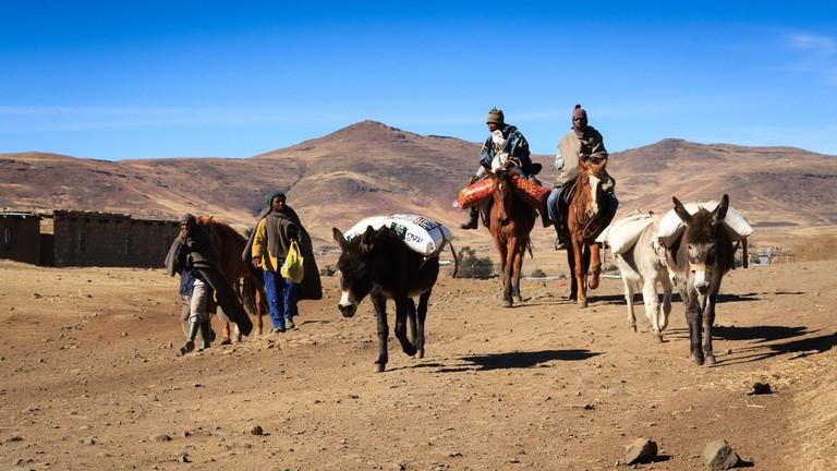 Donkeys in Lesotho carrying grain