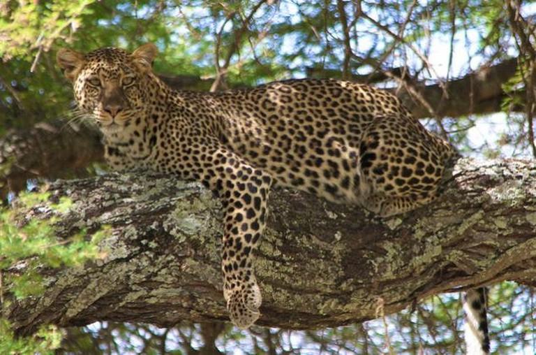 Leopard aberdares