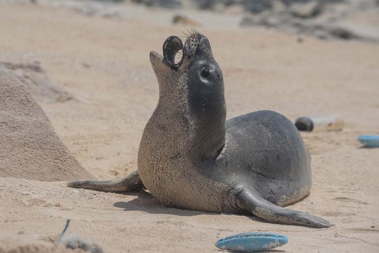Monk-seal-Laysan-Island-photo-by-Matthew_Chauvin