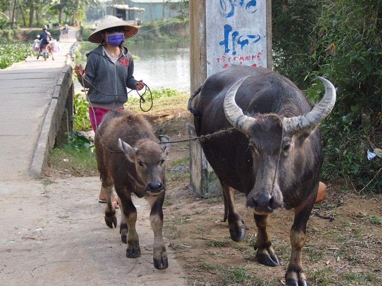 Water Buffalo near Hoi An, Vietnam