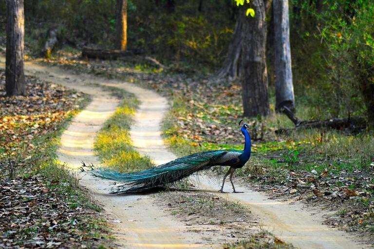 Peacock_National_Bird_Of_India_-_Kanha_National_Park