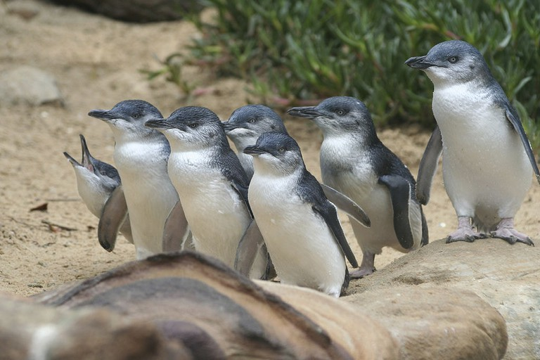Penguin Parade on Phillip Island © Wildvik / Wikimedia Commons