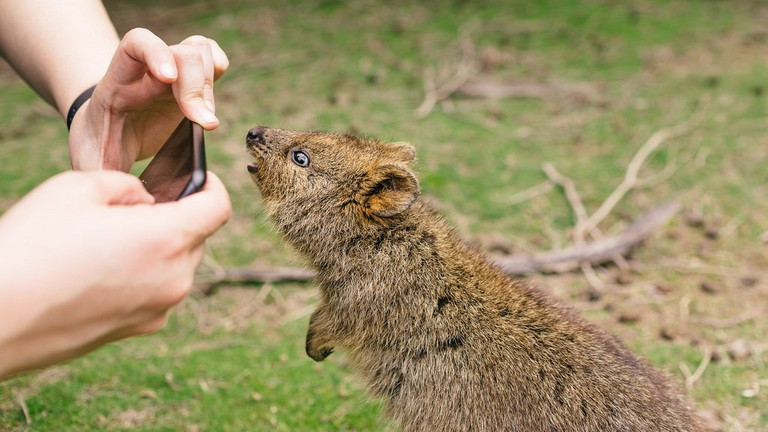 Quokka posing for a photo © VirtualWolf / Flickr