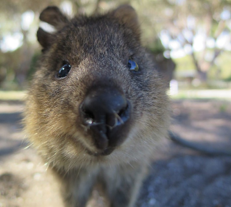 Quokka up close © S. Rohrlach / Flickr