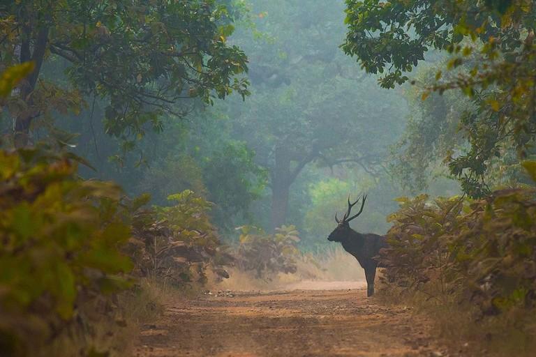 Sambar_Deer-6898