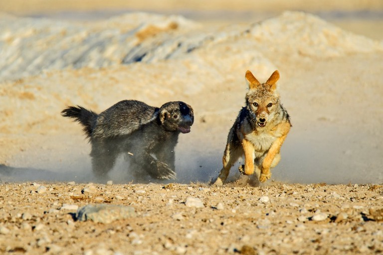 Honey badger chasing a black backed jackal in etosha national park, Namibia